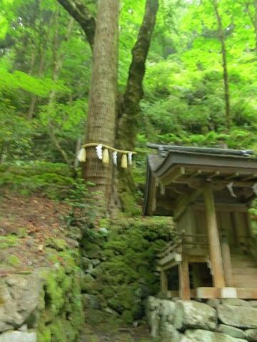 2014-05-26-8連理の杉-2-12%.jpg
