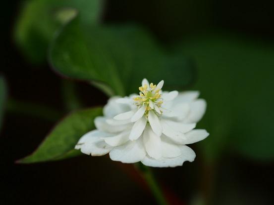 2014-06-14-1八重咲きドクダミ-12%.jpg
