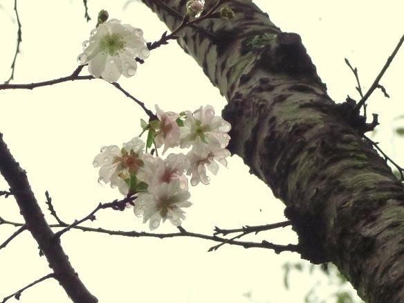 2017-10-13-7十月桜-12%.jpg