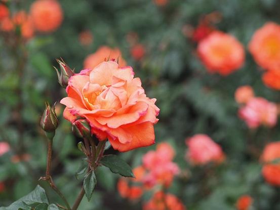 2017-5-14-18薔薇-12%.jpg