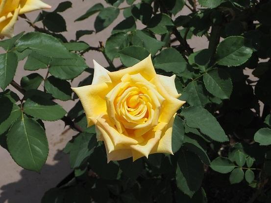 2017-5-28-6薔薇-12%.jpg