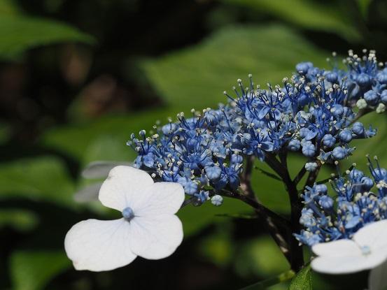 2017-6-20-24満開の花-12%.jpg
