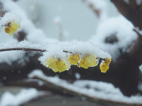 2018-1-22-2雪の蝋梅-1-12%.jpg