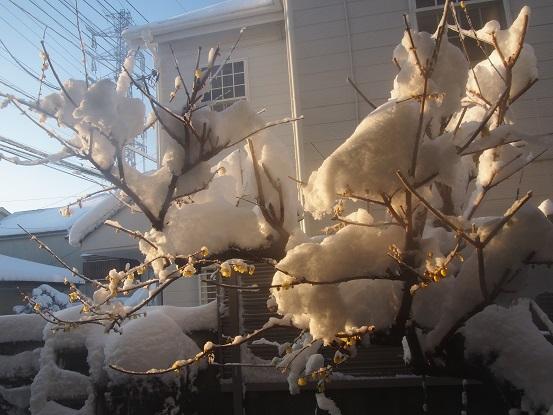 2018-1-23-2雪の蝋梅-12%.jpg